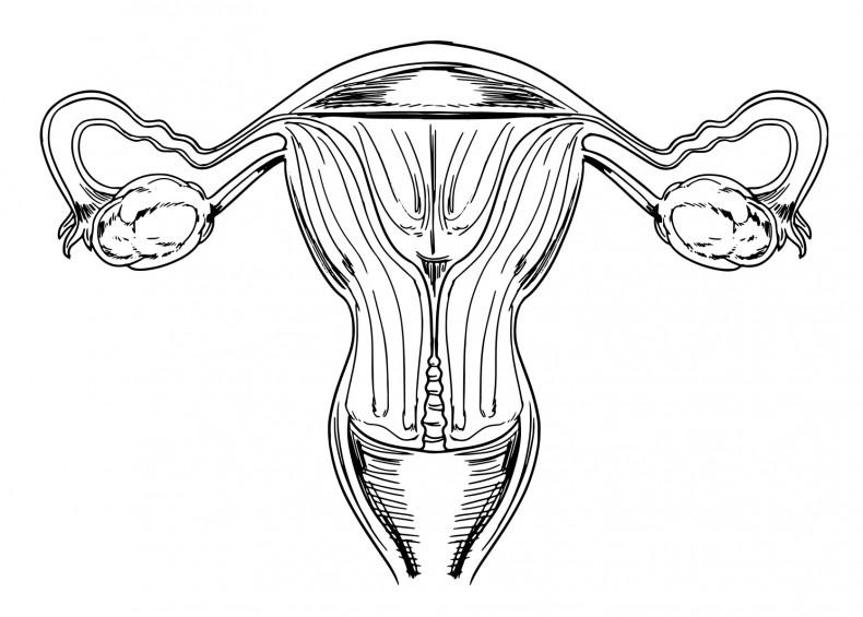 Internal female reproductive organs